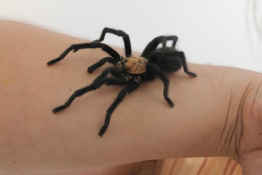 Photo by Hannah Worker --A tarantula crawls across Ms. Slavnic's arm during school this week. Slavnic has adopted the tarantula, originally found in a scholar's yard.